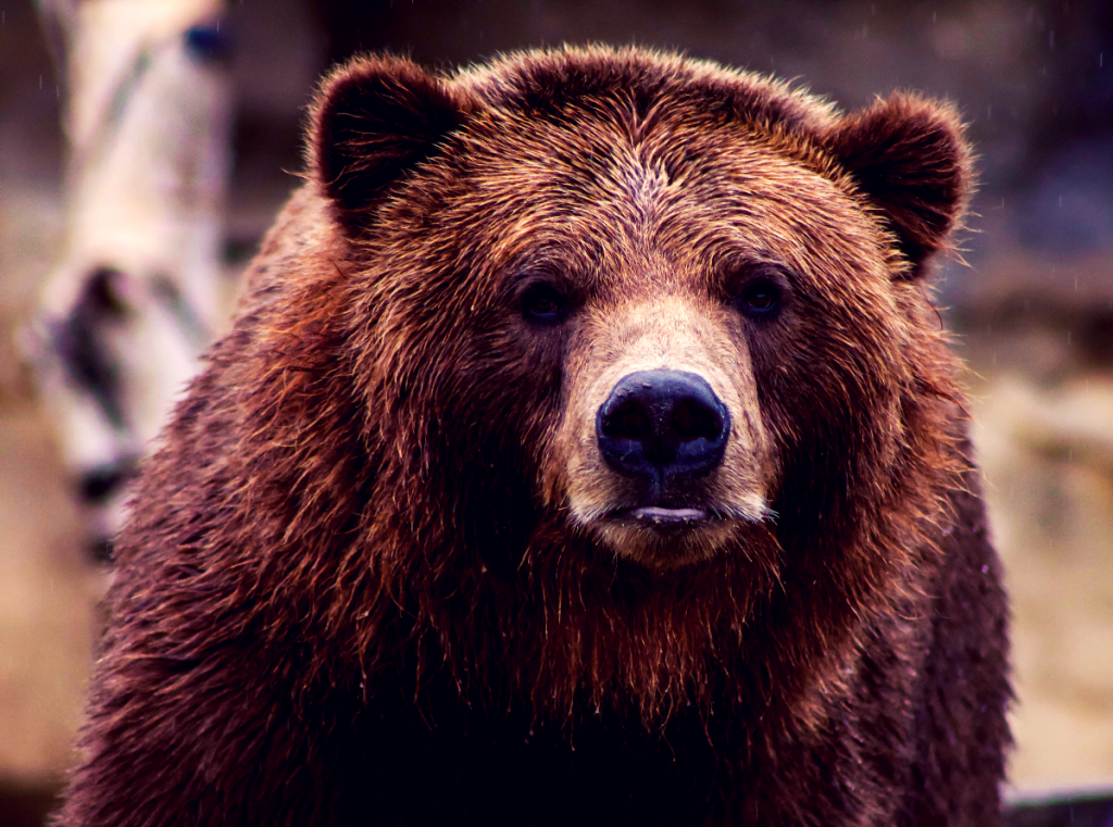 Huge grizzly bear looking at the camera.