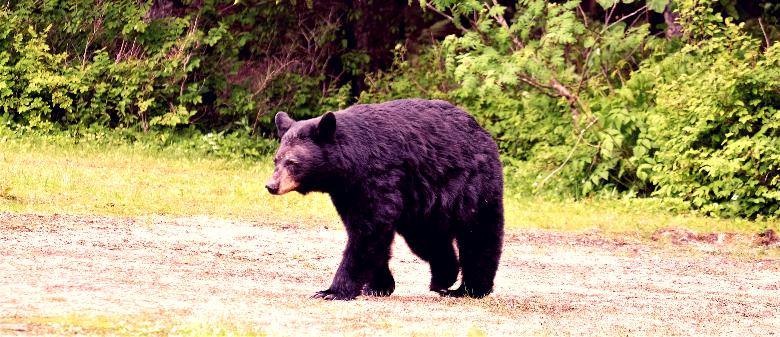 Black bear roaming through a sunny meadow.