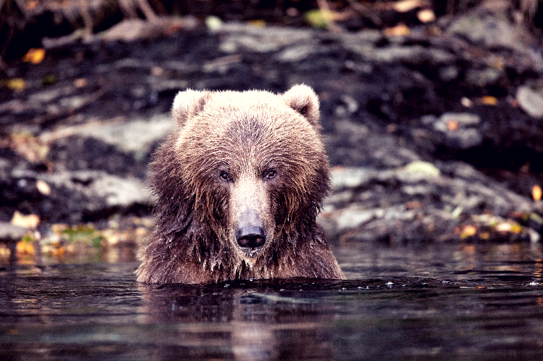 Grizzly bear emerging from the water looking directly at the camera.