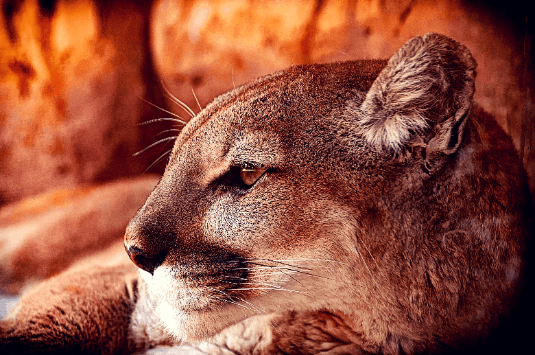 Puma lying down and looking off: profile.
