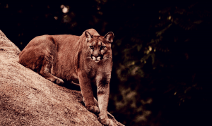 Cougar purched on a large rock looking sinister.