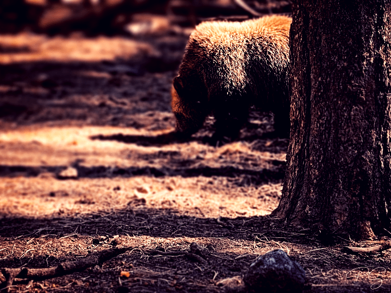 Large brown bear browsing through the forest.