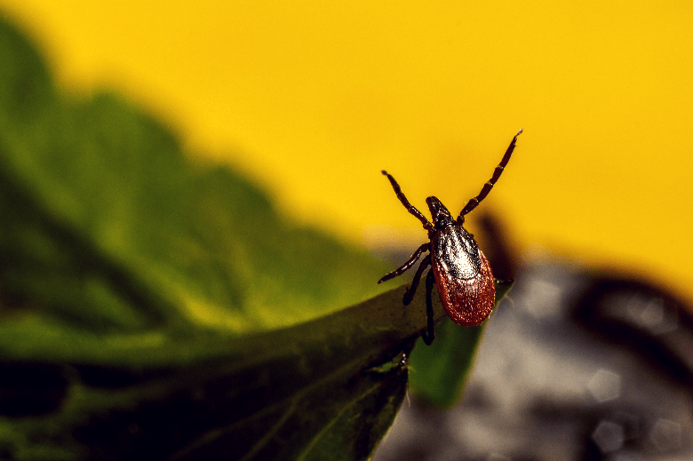 """Tick sitting on the edge of greenery, """"questing"""" with its front legs extended."""