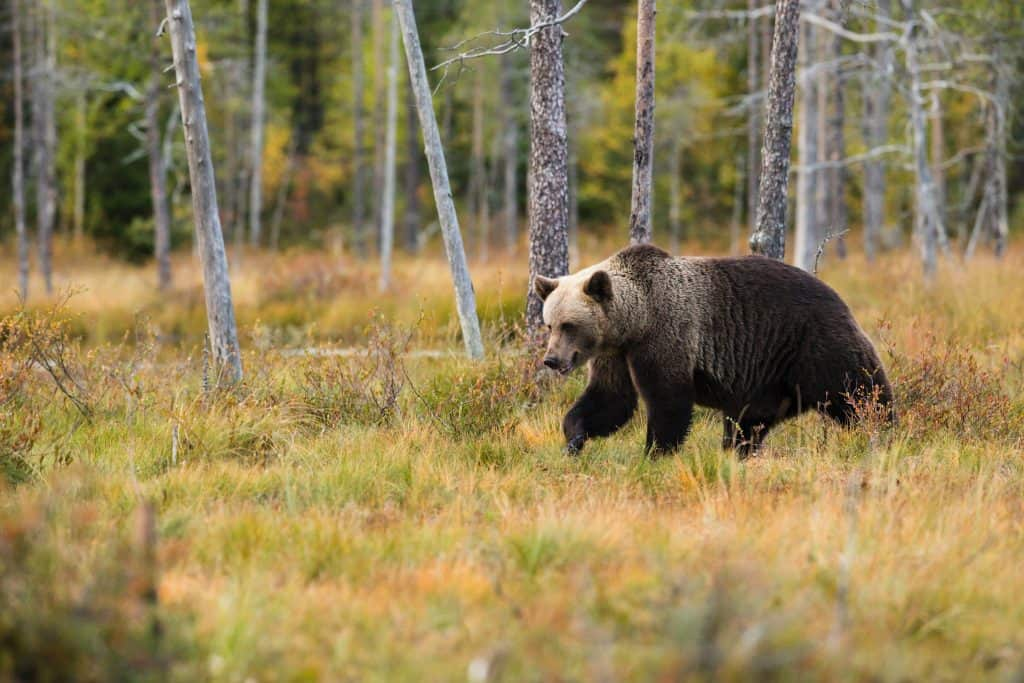 Brown bear walking through tall grass near trees looking at the ground.